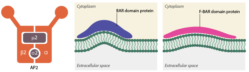 AP2-BAR-domain2