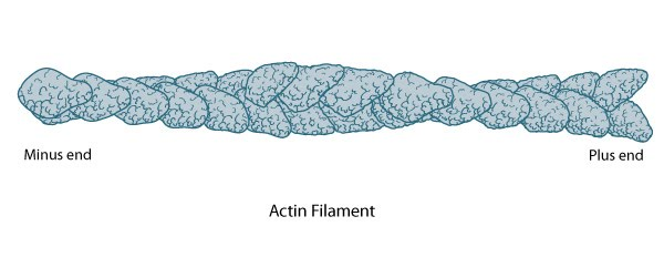 Actin-Filament-Barbed-Ends
