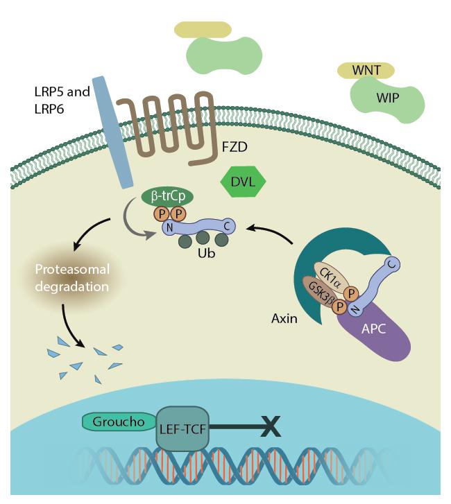 B-catenin-Cytoplasm