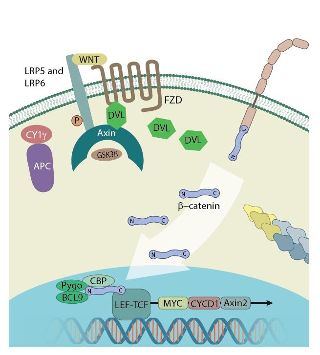 B-catenin-nucleus