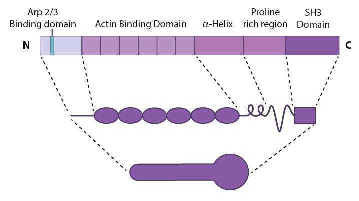 Cortactin-Schematic