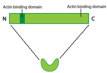 Fascin-Schematic