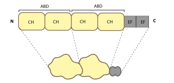 Fimbrin-Schematic