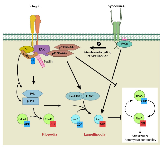 GTPase-signaling-at-leading-edge-by-integrinB1syndecan4