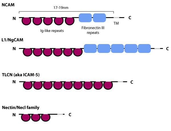 ICAM-schematic
