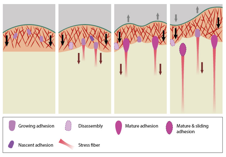 Stages-in-focal-adhesion-formation
