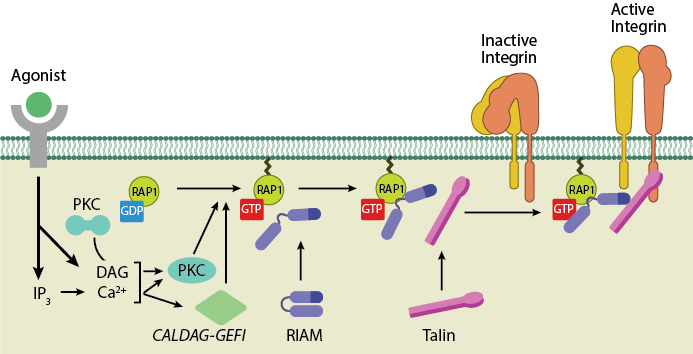 Talin-Recruitment-to-Membrane