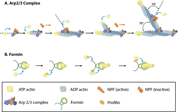 accessory-proteins-nucleate-actin-filaments