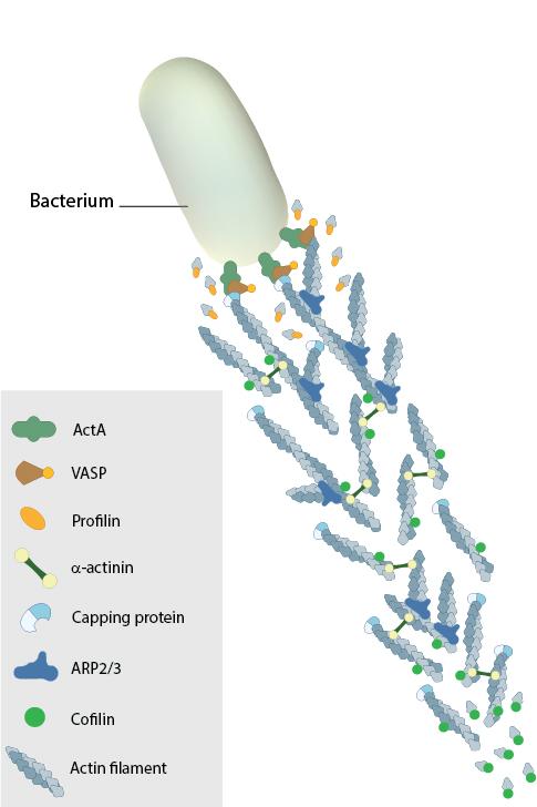 actin-comet-tails