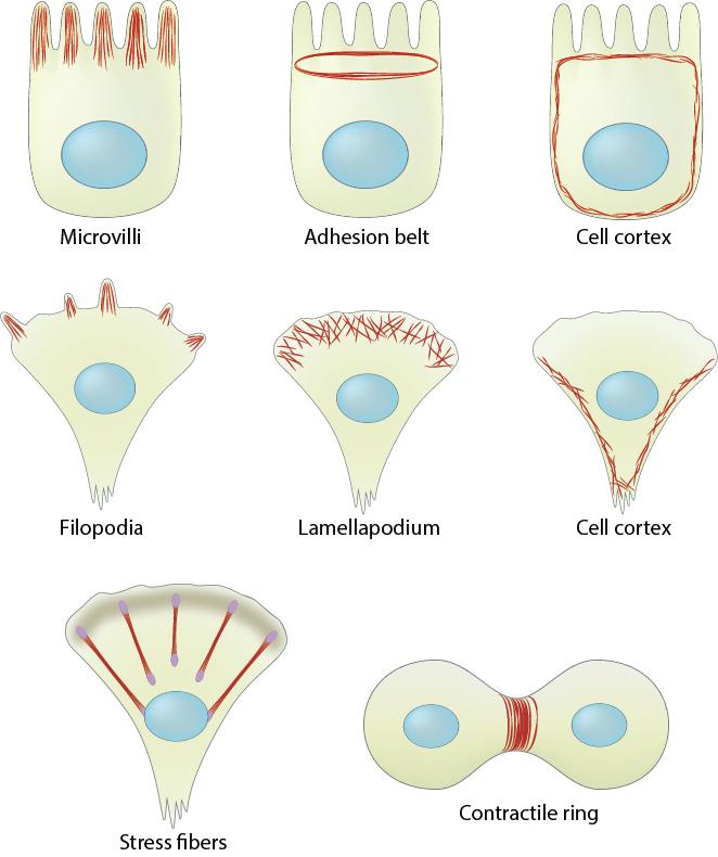 actin-filament-distribution