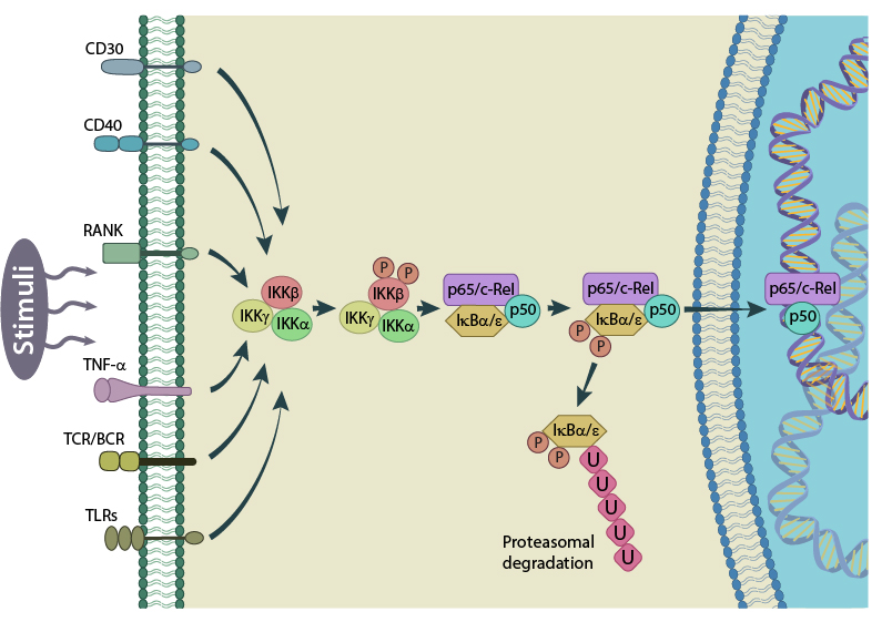 activation-of-nf-kb-via-the-canonical-pathway