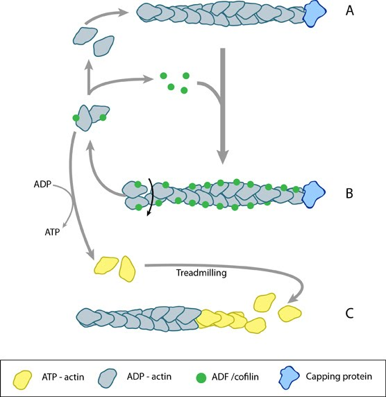 adf-cofilin-actin-filament-turnover
