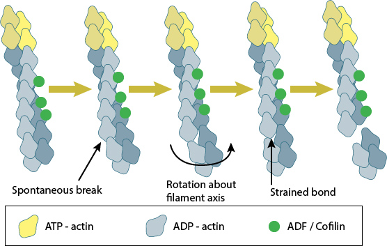 adf-cofilin-severs-actin-filaments