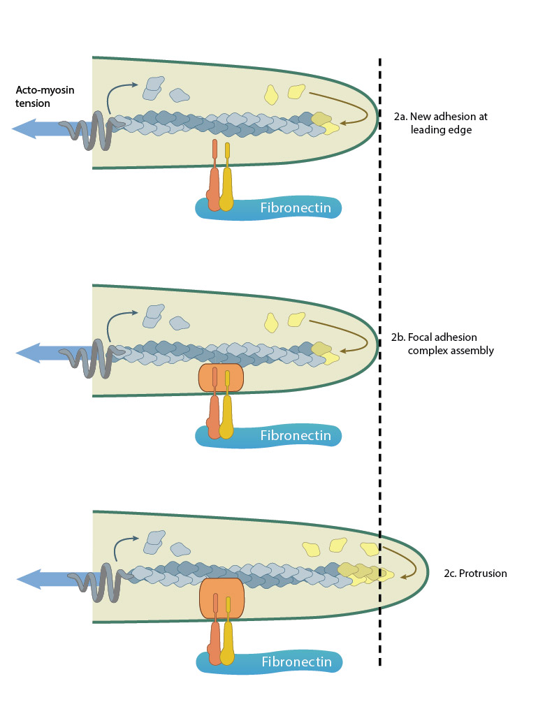 adhesion-influences-filopodia-protrusion