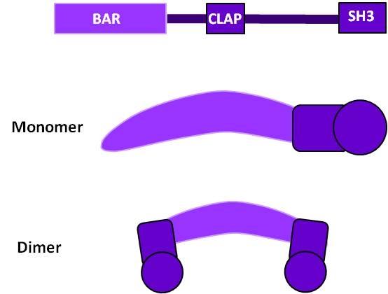 amphiphysin-structure