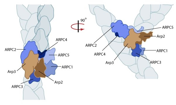 arp-2-3-mediated-nucleation