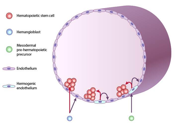 cellular-origin-of-hematopoiesis