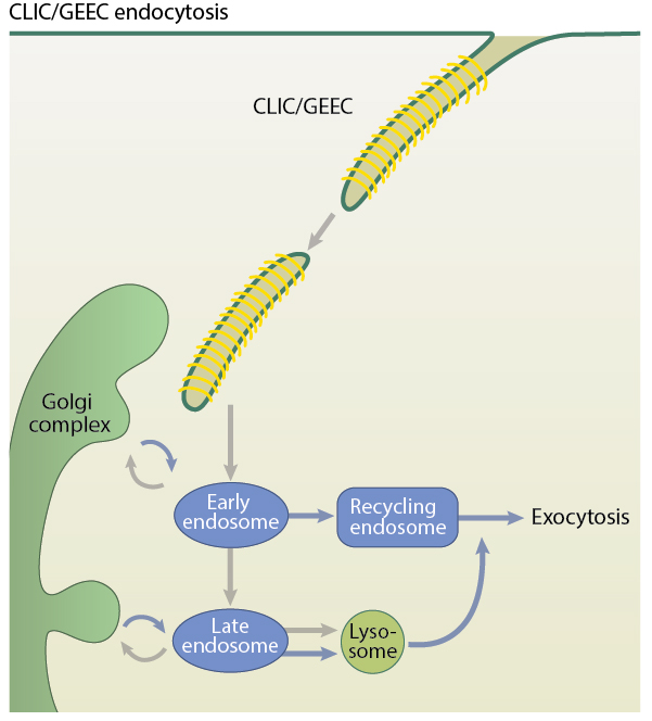 clicgeec_endocytosis