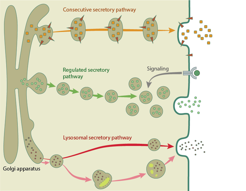 exocytosis-pathways