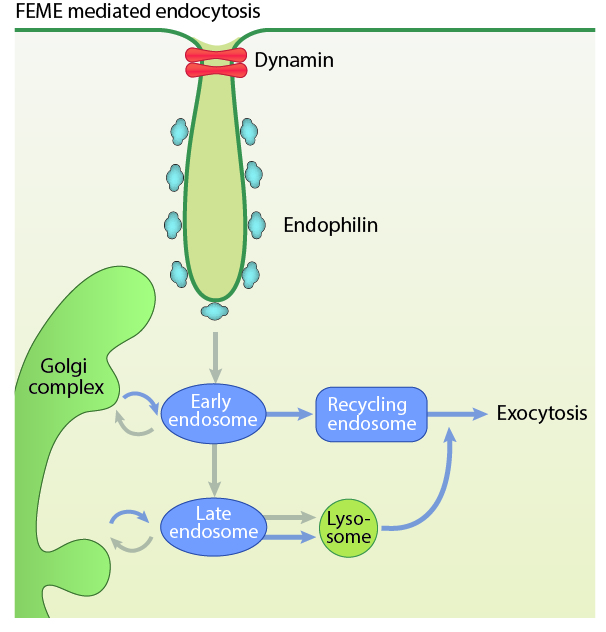 fast-endophilin-mediated-endocytosis-feme