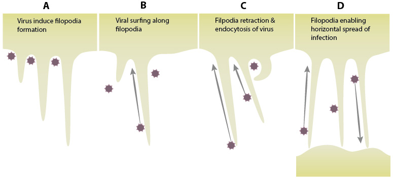 filopodial-mode-of-entry-into-host-by-viruses