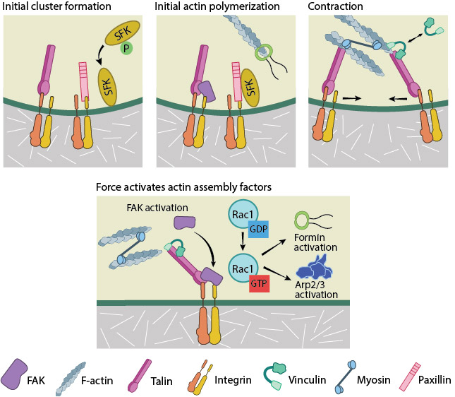 focal-adhesion-initiation-events