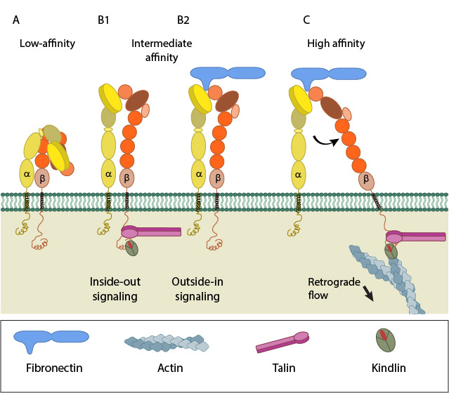 integrin-activation