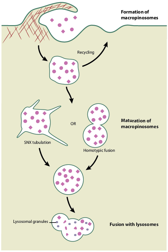 mechanism-of-macropinocytosis