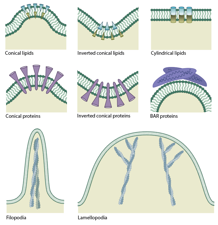 mechanisms-of-membrane-curvature-generation