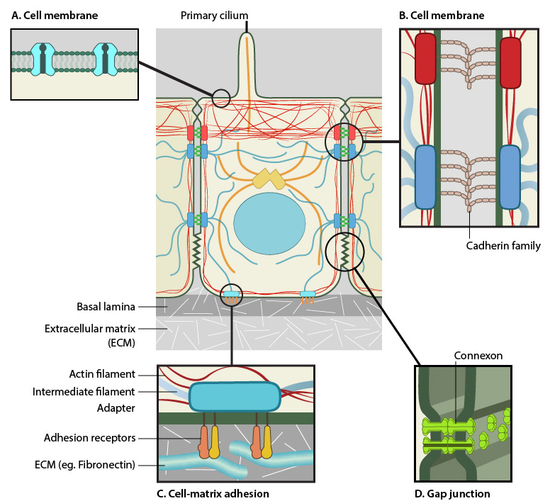 mediators-of-mechanosensing