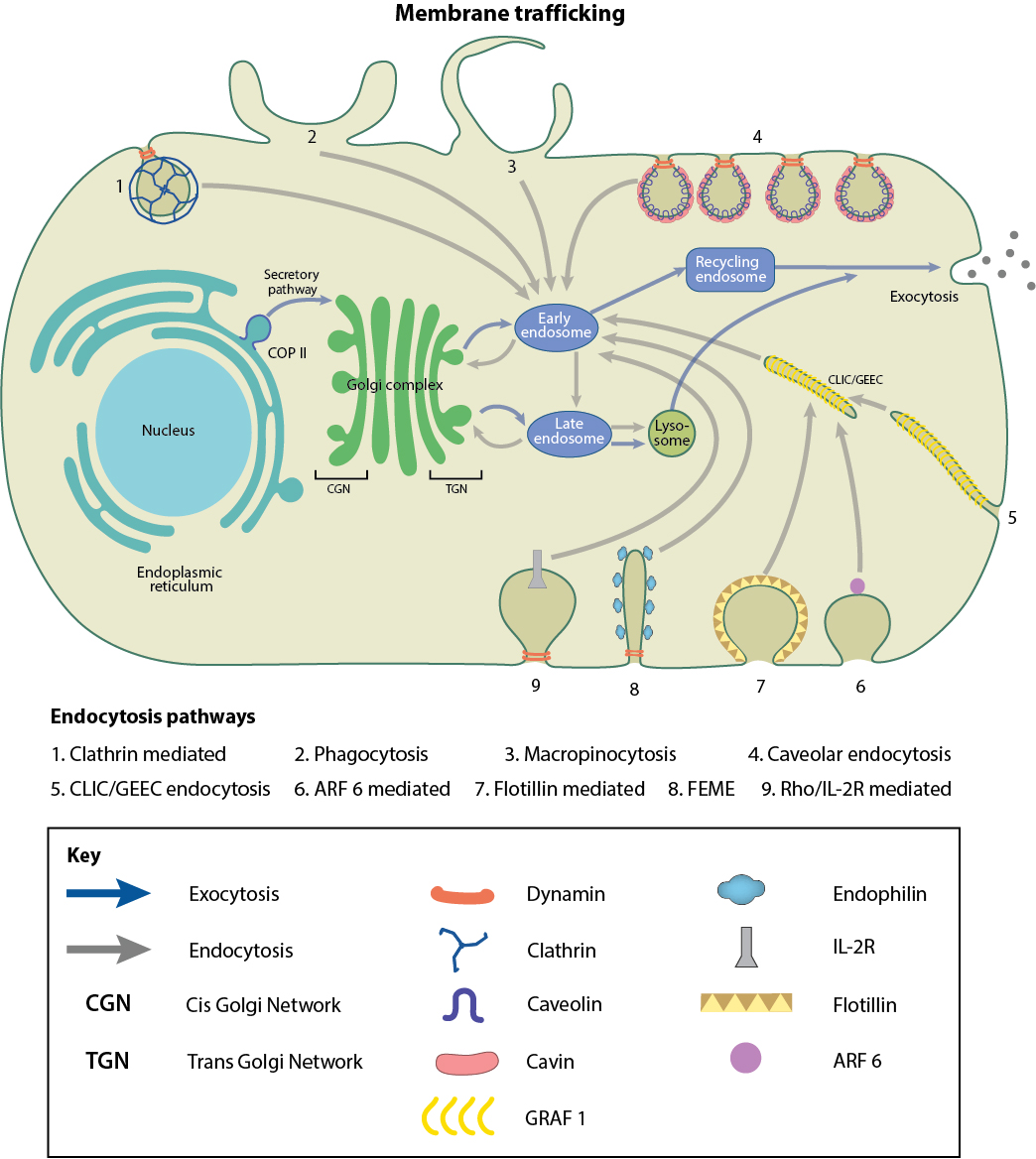 What Is Membrane Trafficking Mbinfo Cell Diagram For Kids Pathways