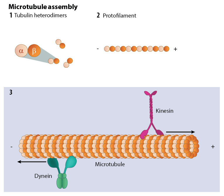 microtubule-assembly