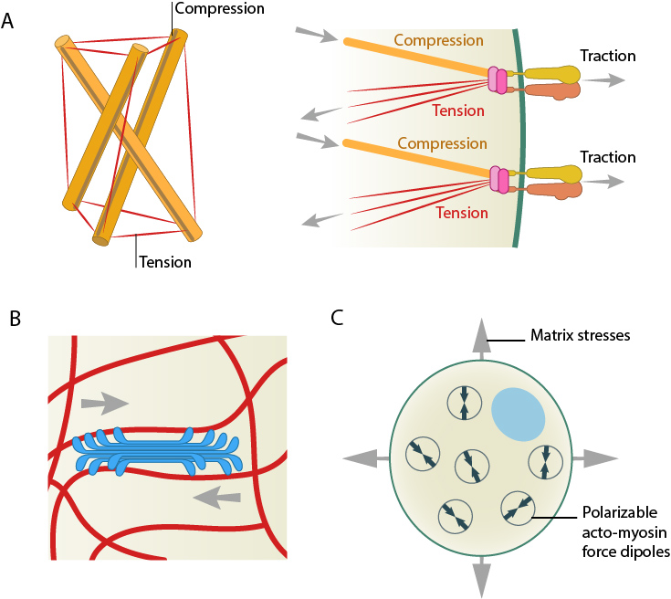 models-for-force-induced-modulation-of-cytoskeleton-stiffness