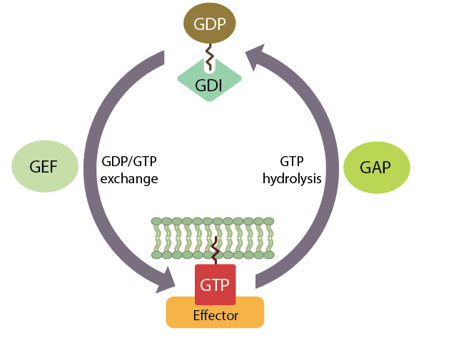 molecular-switch-activity-of-small-gtpases