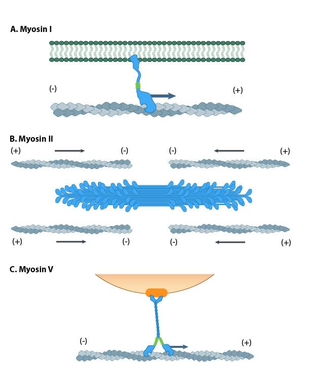 myosins-have-diverse-motor-protein-activity
