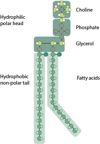 phosphoglyceride-structure