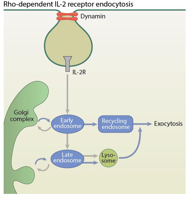 rho-dependent-il-2-receptor-endocytosis