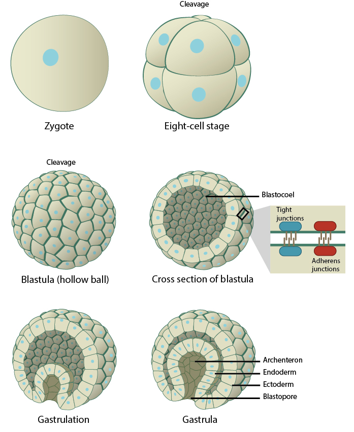 stages-of-embryogenesis