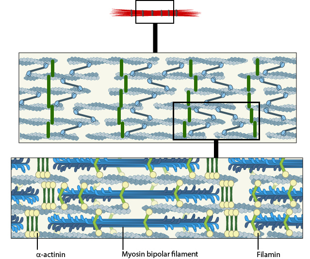 stress-fiber-structure