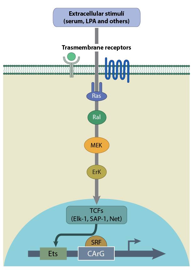 tcf-mediated-srf-signaling