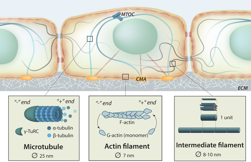the-cytoskeleton
