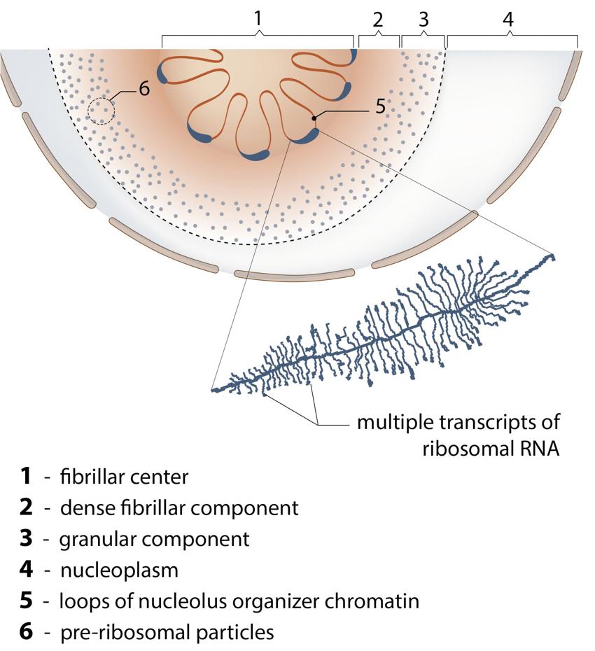 the-nucleolus