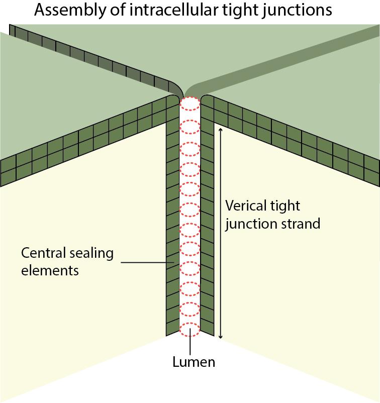 tricellular-junction_d2