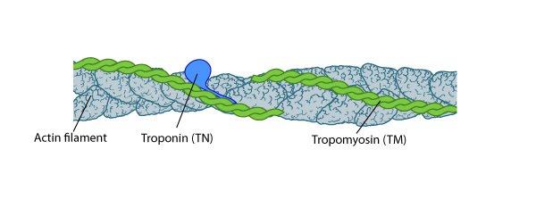 tropomyosin