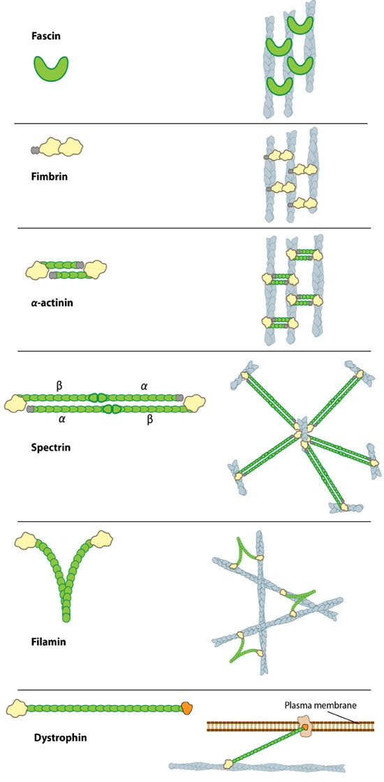 types-of-actin-crosslinkers