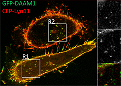 What is the role of DAAM1 at actin nodes?