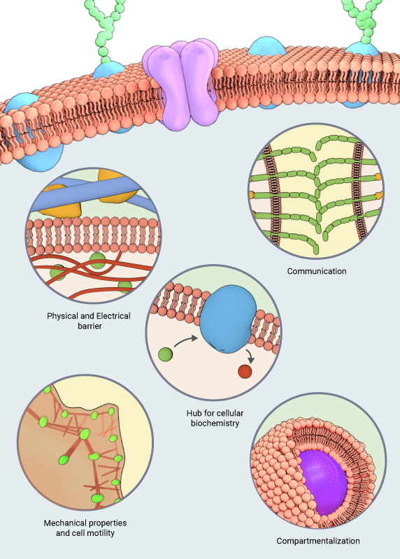 physiologicalfunctionsofmembranes3