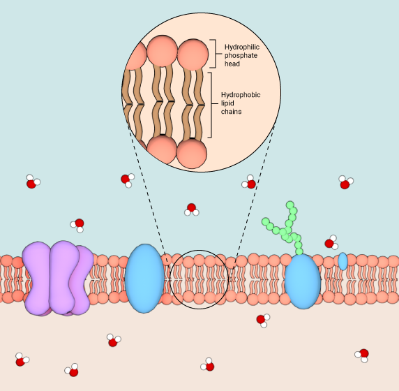 structure-of-cell-membrane