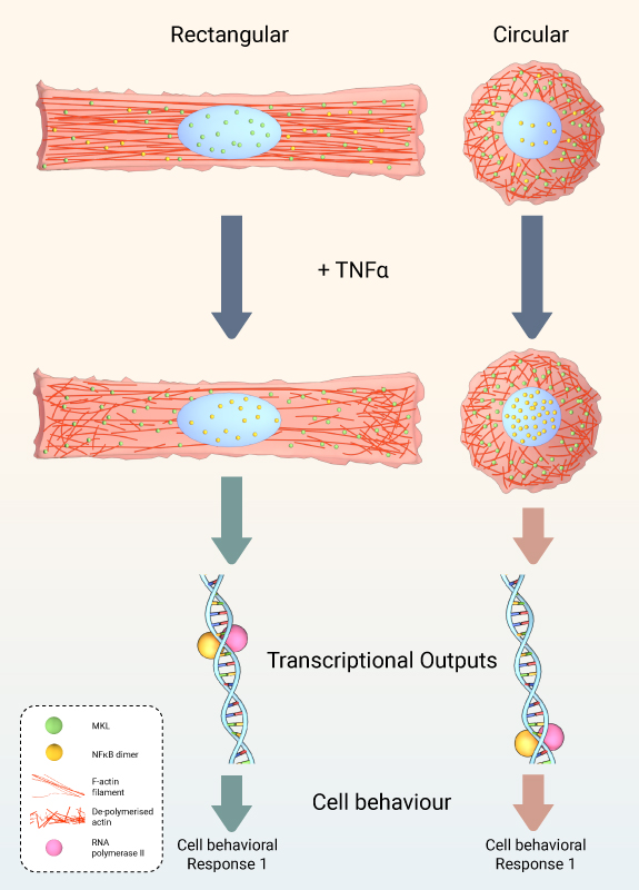 TNFalpha-induced-genome-response