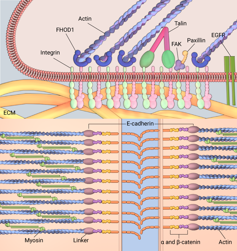 cell-adhesion-molecules-adherens-junction-cadherin-integrin2